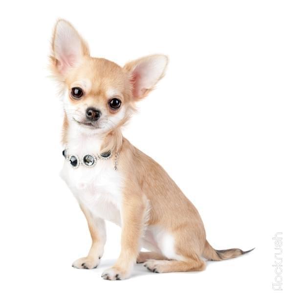 swarovski dog collar