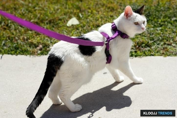 how to train a cat to walk on a leash