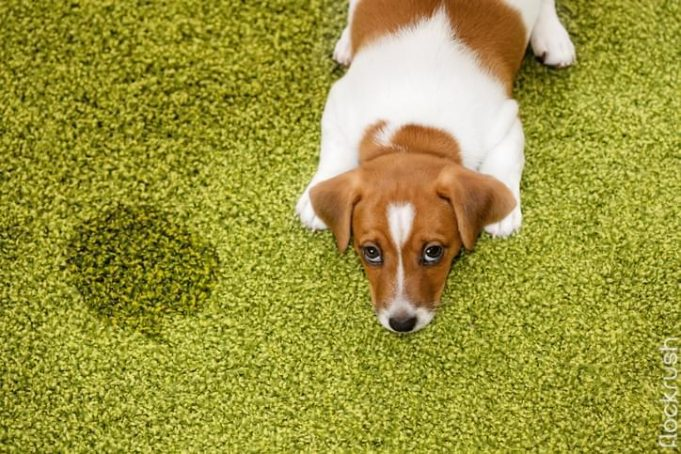 carpet cleaning animal urine