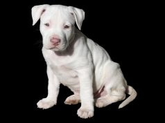 Pit bull rescue homes