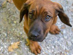 how to care for brachycephalic dogs