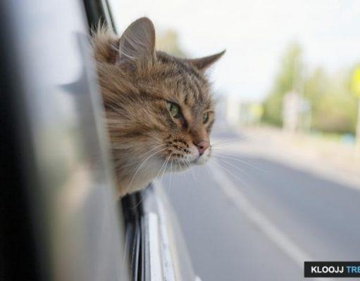 benadryl for cats sedation
