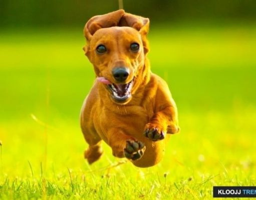 dog agility equipment construction instruction