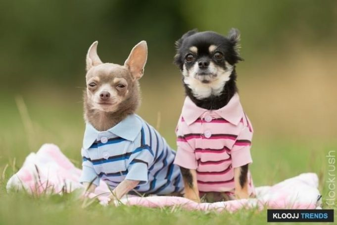 dog coats for pugs